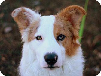 Australian Shepherd/Border Collie Mix Dog for adoption in Danbury, Connecticut - Buckner - ADOPTION IN PROGRESS