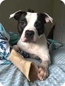 American Bulldog/Boxer Mix Dog for adoption in Decatur, Georgia - Babybel