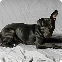 Adopt A Pet :: La Jolie - Tulsa, OK