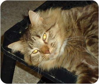 Domestic Mediumhair Cat for adoption in Elmira, Ontario - Milton