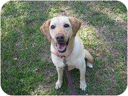 Labrador Retriever Dog for adoption in Altmonte Springs, Florida - Sis
