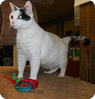 Domestic Shorthair Cat for adoption in Belvidere, Illinois - Tamora *Fostered*