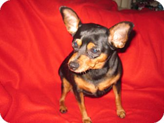 Miniature Pinscher Dog for adoption in Minnetonka, Minnesota - CHEETOS