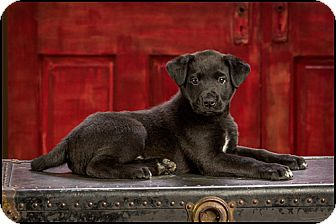 Labrador Retriever Mix Puppy for adoption in Owensboro, Kentucky - Kyle