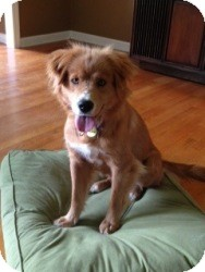 Golden Retriever Mix Dog for adoption in White River Junction, Vermont - Sarah