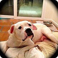 Adopt A Pet :: Jenni - Sweet Bulldog - Seattle, WA