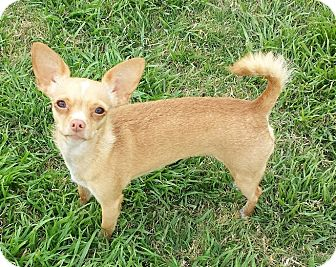 Chihuahua Mix Dog for adoption in Buckeye, Arizona - Talia