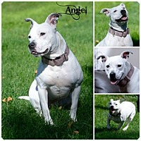 Adopt A Pet :: Angel - Sioux Falls, SD