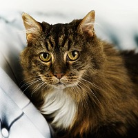Adopt A Pet :: Kioko - Anchorage, AK