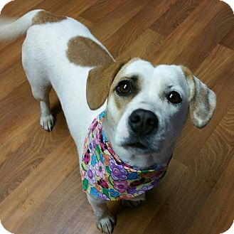 Lizzie | Adopted Dog | 0507 | Lisbon, OH | Jack Russell ...