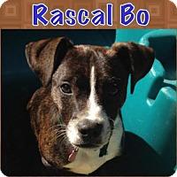 Adopt A Pet :: Rascal Bo - various cities, FL