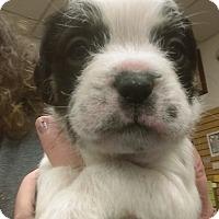 Adopt A Pet :: Desi - Ogden, UT