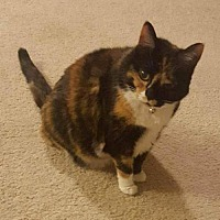 Domestic Shorthair Cat for adoption in Herndon, Virginia - Roxy