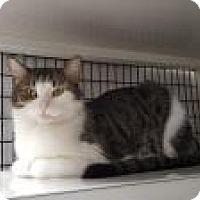 Domestic Shorthair Cat for adoption in La Grange Park, Illinois - Baby