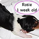 Adopt A Pet :: Penelope's Rosie