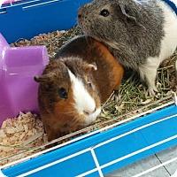 Adopt A Pet :: Vick - La Grange Park, IL