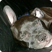 American Staffordshire Terrier/Boston Terrier Mix Puppy for adoption in Richmond, California - Ruger