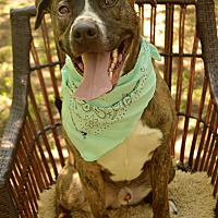 Labrador Retriever/American Pit Bull Terrier Mix Dog for adoption in Auburn, California - Louie