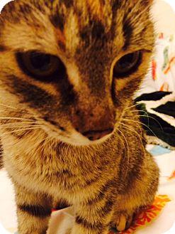 Domestic Mediumhair Cat for adoption in Phoenix, Arizona - Ginger
