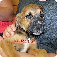 Adopt A Pet :: EMERALD - Ventnor City, NJ