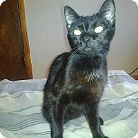 Domestic Shorthair Cat for adoption in Enid, Oklahoma - Raven
