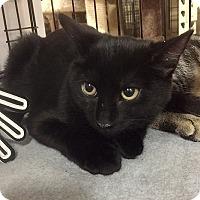 Domestic Shorthair Kitten for adoption in Oviedo, Florida - Eden