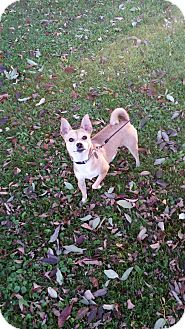 Shiba Inu/Chihuahua Mix Dog for adoption in Canton, Ohio - Bailey