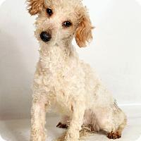 Adopt A Pet :: Simon Poodle - St. Louis, MO