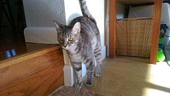 Domestic Shorthair Kitten for adoption in Satellite Beach, Florida - Mini Mama