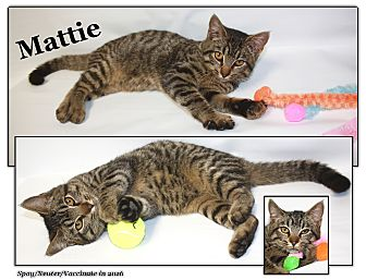 Domestic Shorthair Cat for adoption in Cuba, Missouri - Mattie