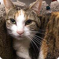 Domestic Shorthair Cat for adoption in Ogden, Utah - Sadie