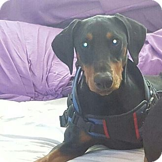 Doberman Pinscher Puppy for adoption in Lloyd, Florida - JJ