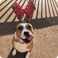 Boston Terrier/Bulldog Mix Dog for adoption in Greenville, South Carolina - Sassy