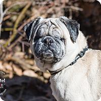 Adopt A Pet :: Sapphire - Grapevine, TX