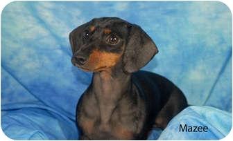 Dachshund Dog for adoption in Ft. Myers, Florida - Mazee