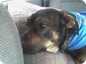 Shepherd (Unknown Type) Mix Dog for adoption in Fresno, California - Tango
