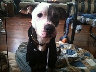 American Staffordshire Terrier Mix Dog for adoption in Newtown, Pennsylvania - Bella