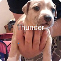 Adopt A Pet :: Thunder - Surprise, AZ