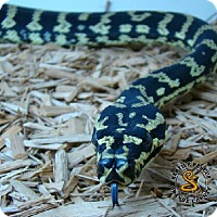 Adopt A Pet :: Carpet Python - Lake Forest, CA