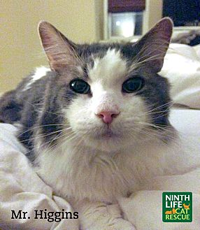 Domestic Mediumhair Cat for adoption in Oakville, Ontario - Mr. Higgins