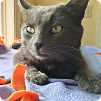 Adopt A Pet :: Gibbon - Salisbury, MA