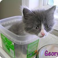 Domestic Shorthair Kitten for adoption in Creston, British Columbia - Georgia