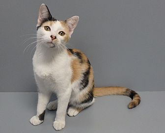 Domestic Shorthair Cat for adoption in Seguin, Texas - Callie