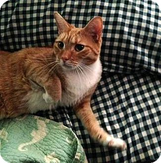 Domestic Shorthair Cat for adoption in New York, New York - Paris
