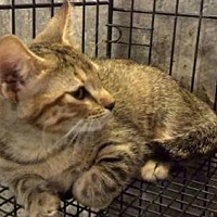 Domestic Shorthair Cat for adoption in Tyler, Texas - AA-Laken