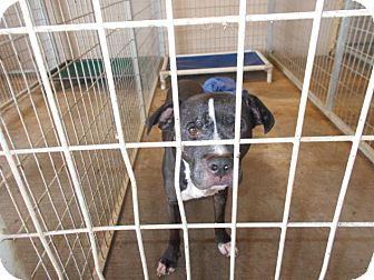 Labrador Retriever/Pit Bull Terrier Mix Dog for adoption in Lewisburg, Tennessee - Ayers