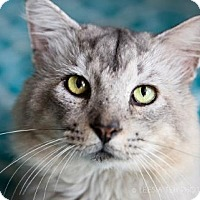 Maine Coon Cat for adoption in Atlanta, Georgia - Lynx