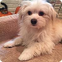 Adopt A Pet :: Larissa - McKinney, TX