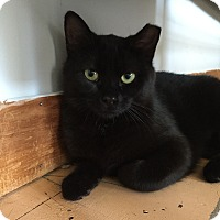 Domestic Mediumhair Cat for adoption in Portland, Maine - Princess Licorice