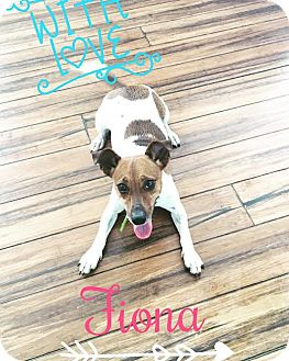 Jack Russell Terrier Mix Dog for adoption in Cincinnati, Ohio - Fiona
